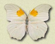 Ghost Brimstone butterfly