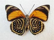 402 White-spotted Agrias