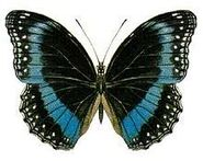 431 Blue-banded Eggfly