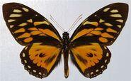 400 Zagreus Swallowtail