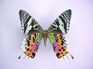 49 Sunset Moth