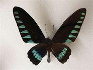 432 Triangle Birdwing