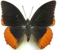 312 Flame Bordered Emperor