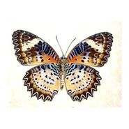 10 Leopard Lacewing