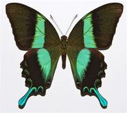 375 Peacock Swallowtail