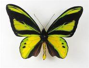391 Male Chimaera Birdwing