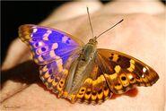 360 Lesser Purple Emperor