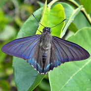 Cramer's Paradise Skipper butterfly