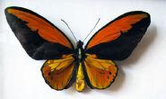 102 Wallace's Golden Birdwing