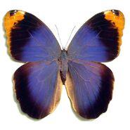 Purple Owl Butterfly
