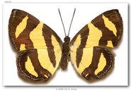 448 Bumblebee Metalmark