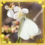 Flutterfact20160301WhiteButterflies