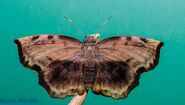 Giant Sicklewing Skipper butterfly