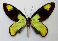 272 Queen Victoria's Birdwing