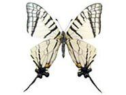 418 Mandarin Swallowtail