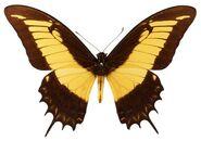 297 Queen Swallowtail