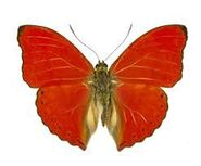 428 Male Hobart's Red Glider