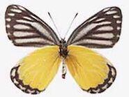 295 Yellow Jezebel