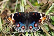 374 Female Blue Pansy