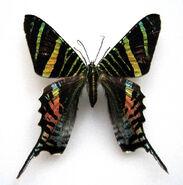 Sloane's Day-flying Moth