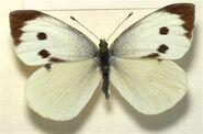 352 Large White