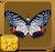 Circe Butterfly§Headericon