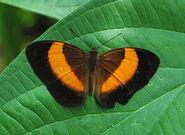 New Guinea Rustic