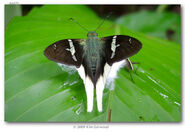 Great White Longtail butterfly