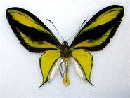 387 Paradise Birdwing