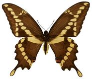 427 Giant Swallowtail