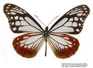 409 Chestnut Tiger