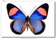 35 Pastel Papillion