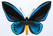 277 Male Priam's Birdwing