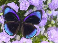 Midnight Blue Butterfly