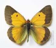 380 African Clouded Yellow