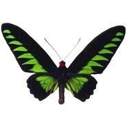 39 Rajah Brooke's Birdwing