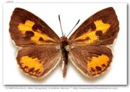 310 Harvester Butterfly