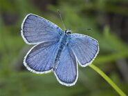 388 Karner Melissa Blue
