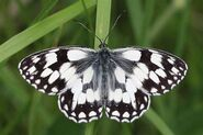350 Mabled White Europe