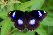 302 Blue Moon Butterfly