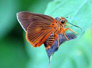 Banded Orange Awlet
