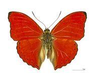357 Blood Red Glider
