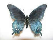 68 Pipevine Swallowtail