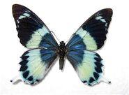 330 Laglaize's Swallowtail