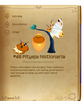 Pityeja histionaria§Flutterpedia