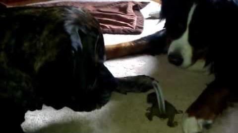 English Mastiff and Bernese Mountain dog play with baby Squirrel.