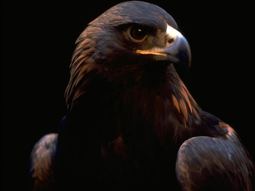Image black eagle wallpaper yvt2g fly like a bird 3 wiki black eagle wallpaper yvt2g voltagebd Image collections