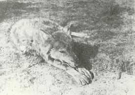 MSU V2P1a - Canis lupus campestris