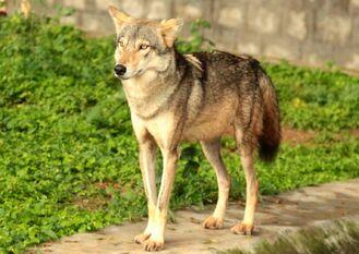Canis lupus pallipes Mysore Zoo 1-e1413392968483