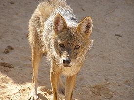 275px-Canis aureus revivim2
